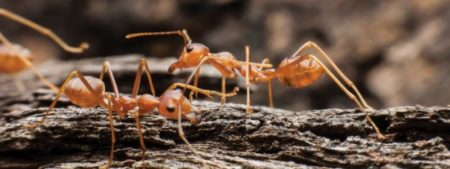 15-April-TN-Fire-Ant-960x360