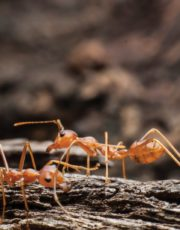 Little fire ants take big bite. Ilima Loomis Journalism.